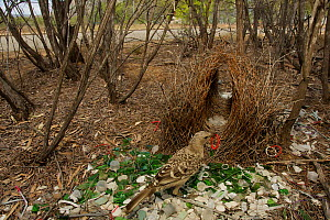 Great Bowerbird (Chlamydera nuchalis) male at his bower decorated with green glass, white plastic, grey plastic, and other decorations. This bower is very close to a road. James Cook University Campus...  -  Tim Laman