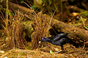 Satin Bowerbird (Ptilonorhynchus violaceus minor) male displays to a female who has entered his bower. This bower is decorated with all natural objects. Rainforest of the Atherton Tablelands, Queensl... - Tim Laman