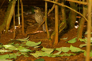 Tooth-billed Bowerbird (Scenopoeetes dentirostris) male calling at his court. The display court of this bowerbird species is a cleared area of the forest floor with a collection of upside-down leaves.... - Tim Laman