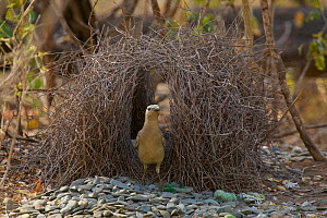 Great Bowerbird (Chlamydera nuchalis) male at his bower. Located far from civilisation in the dry forest west of the village of Irvinebank. Decorations are mostly stones with a few snail shells, green...  -  Tim Laman