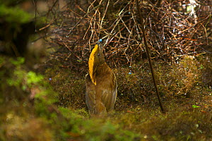 Yellow-fronted Bowerbird (Amblyornis flavifrons) male displaying to a female at his bower by holding a blue fruit in his bill and keeping on the opposite side of the bower from the female. Papua, Indo... - Tim Laman