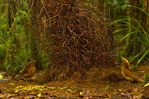 Golden-fronted Bowerbird (Amblyornis flavifrons) male at his bower, displaying to another male who is behaving like a female by keeping on the opposite side of the bower. Papua, Indonesia, June 2007 - Tim Laman