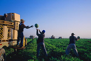 Workers harvesting and packing watermelons in the early morning, Imperial Valley, California, USA  -  Jenny E. Ross