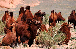 Herd of domestic Bactrian camels (Camelus bactrianus) in the Gobi Desert, Mongolia  -  Konstantin Mikhailov