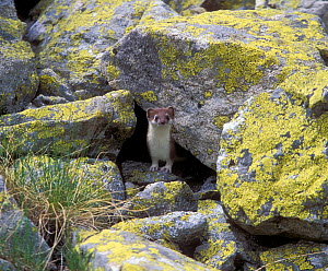 Ermine / Stoat (Mustella erminea) in highlands of the Northern Caucasus, Russian Federation.  -  Konstantin Mikhailov