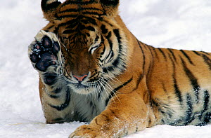 Young Siberian tiger (Panthera tigris altaica) in snow, Captive, Moscow Zoo, Endangered species  -  Konstantin Mikhailov