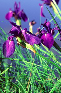 (Iris campferi) characteristic wet meadow plant in the Amurland and Ussuriland valleys, Bikin River, Primorsky Administrative Region, Far East Russia  -  Konstantin Mikhailov