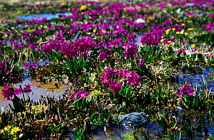 Alpine meadows with Snow Primrose (Primula nivalis) in S Altai Region, June, 3000-3500m, Far East Russia  -  Konstantin Mikhailov