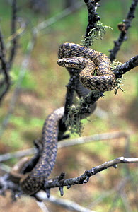 Steppes rat snake (Elaphe dione) amongst tree branches, The Bikin River, Northern Ussuriland, Far East Russia, spring  -  Konstantin Mikhailov