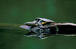 Chinese soft-shelled turtle (Pelodiscus / Trionyx sinensis) resting on stone in river, River Bikin, Northern Ussuriland, Far East Russia, July.  -  Konstantin Mikhailov