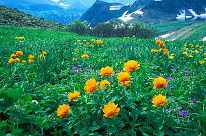 Asian globeflower (Trollius asiaticus) flowering in subalpine meadows of the Altai-Sayan Region, in particular in Kuznetsky Alatau State Nature Reserves, Siberia, Far East Russia,  -  Konstantin Mikhailov
