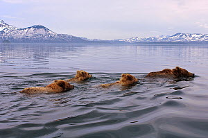 Kamchatka brown bear (Ursus arctos beringianus) mother and three cubs swimming across lake, Kamchatka, Far east Russia, June  -  Sergey Gorshkov