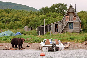 Kamchatka Brown bear (Ursus arctos beringianus) on shore beside boat, tents and wooden cottage, Kamchatka, Far east Russia, August 2005 - Sergey Gorshkov