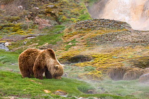 Kamchatka Brown bear (Ursus arctos beringianus)  grazing on grass beside rocks and geothermal activity, Kamchatka, Far east Russia, January  -  Sergey Gorshkov