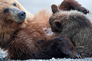 Kamchatka Brown bear (Ursus arctos beringianus)  mother rolling over on back for baby to suckle, Kamchatka, Far east Russia, August - Sergey Gorshkov