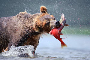 Kamchatka Brown bear (Ursus arctos beringianus)  catching salmon in river, Kamchatka, Far east Russia, August - Sergey Gorshkov