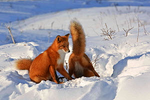 Red fox (Vulpes vulpes) two foxes at den in deep snow, Kamchatka, Far east Russia, November - Sergey Gorshkov