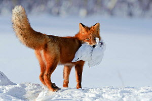 Red fox (Vulpes vulpes) carrying white grouse prey over snow, Kamchatka, Far east Russia, January  -  Sergey Gorshkov