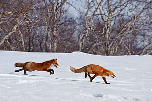 Red fox (Vulpes vulpes) one fox chasing another across snow,  Kamchatka, Far east Russia,  April  -  Sergey Gorshkov