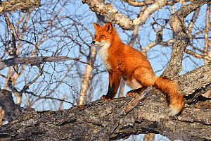 Red fox (Vulpes vulpes) sitting on fallen tree trunk,  Kamchatka, Far east Russia, April  -  Sergey Gorshkov