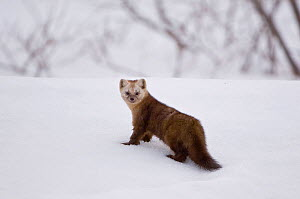 Japanese sable (Martes zibellina) foraging on snow, Kamchatka, far east Russia, May - Sergey Gorshkov