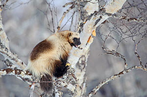 Wolverine (Gulo gulo) climbing birch tree, striping bark from the trunk to feed on, Kamchatka, Far East Russia, April 2008 - Sergey Gorshkov