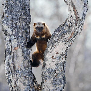 Wolverine (Gulo gulo) climbing birch tree, Kamchatka, Far East Russia, April  -  Sergey Gorshkov
