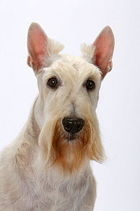 Domestic dog, Scottish Terrier / Aberdeen Terrier, studio portrait  -  Yves Lanceau
