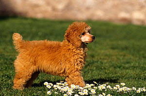 Domestic dog, Minature Poodle - Yves Lanceau
