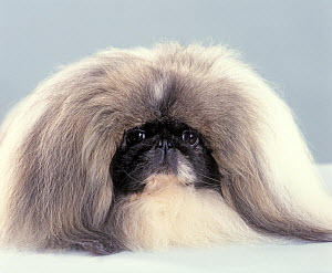 Domestic dog, Pekingese, studio portrait  -  Yves Lanceau