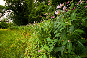 Himalayan Balsam (Impatiens glandulifera) growing in damp ground near to the River Usk, Wales.  -  Toby Roxburgh