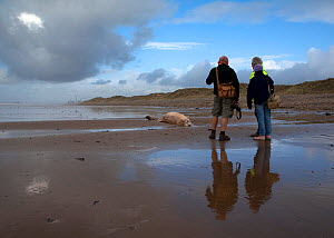 Scientists from the Welsh Marine Environmental Monitoring team and ranger from Kenfig Nature Reserve looking at the carcass of Sowerby's Beaked Whale (Mesoplodon bidens), washed up on the coast near P...  -  Toby Roxburgh