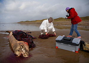 Scientists from the Welsh Marine Environmental Monitoring team dissecting the carcass of a Sowerby's Beaked Whale (Mesoplodon bidens) washed up on beach in order to determine cause of death. Near Port...  -  Toby Roxburgh