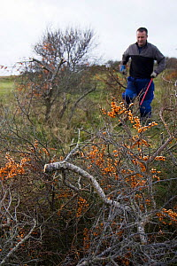 Volunteers and local council staff clearing Common sea buckthorn (Hippophae rhamnoides), which spreads rapidly and smothers sensitive dune plant communities, Newton Burrows (a provisional LNR and part... - Toby Roxburgh