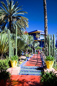 Cacti (Cactaceae) and Palms (Palmae) growing in the Jardin Majorelle (Majorelle Garden), Marrakech, Morocco, March 2010. - Toby Roxburgh