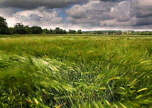 Wind blowing over Wheat (Triticum genus) field in summer, England, July 2009. - Toby Roxburgh