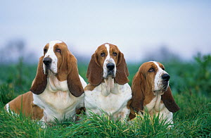 Domestic dog, three Basset Hounds outdoors - Yves Lanceau