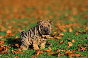 Domestic dog, Shar Pei / Chinese Fighting Dog, puppy urinating  -  Yves Lanceau