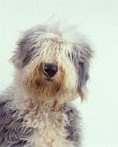 Domestic dog, Old English Sheepdog / Bobtail, studio portrait - Yves Lanceau
