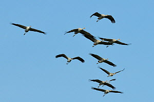 Flock of eleven juvenile Common / Eurasian cranes (Grus grus) released by the Great Crane Project, with adult plumage developing at ten months, approaching in flight, Somerset Levels and Moors, UK, Ma...  -  Nick Upton / 2020VISION
