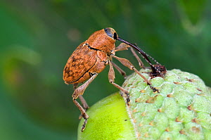 Acorn weevil (Curculio venosus) drilling hole into acorn prior to egg laying. Sequence 1 of 5. Captive, UK, August.  -  Andy Sands