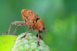 Acorn weevil (Curculio venosus) pushing egg into hole in acorn. Sequence 5 of 5. Captive, UK, August.  -  Andy Sands