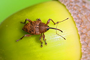 Acorn weevil (Curculio glandium). View from above on acorn. Captive, UK, August.  -  Andy Sands