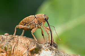 Acorn weevil (Curculio venosus) drilling into Oak twig to drink sap. Captive, UK, August.  -  Andy Sands