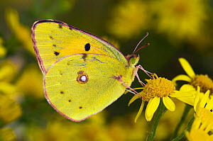 Clouded yellow butterfly (Colias crocea) perched on Ragwort flower. West Sussex, UK. - Andy Sands