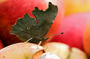 Comma butterfly (Polygonia c-album) feeding on rotting apples. West Sussex, UK, October.  -  Andy Sands