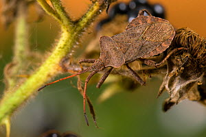 Dock / Squash bug (Coreus marginatus) on Blackberry. Hertfordshire, UK, September.  -  Andy Sands
