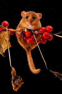 Dormouse (Muscardinus avellanarius) climbing among berries of Black Byrony. Captive. UK, September. - Andy Sands