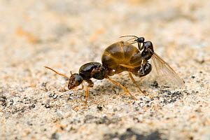 Garden Ant (Lasius niger) female being mated by smaller black male. Hertfordshire, UK, August.  -  Andy Sands