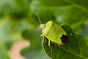 Green Shield Bug (Palomena prasina) on Oak leaf. Hertfordshire, UK, August. - Andy Sands